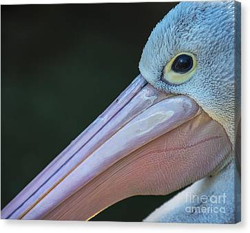 White Pelican Close Up Canvas Print by Avalon Fine Art Photography