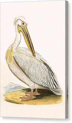 White Pelican Canvas Print by English School