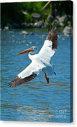 White Pelican Flight Canvas Print by Mike Dawson