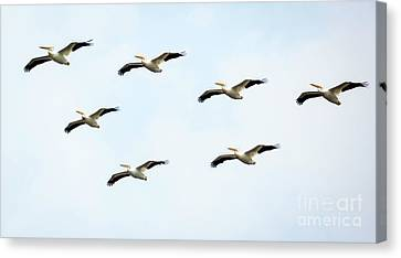 Canvas Print featuring the photograph White Pelican Flyby by Ricky L Jones