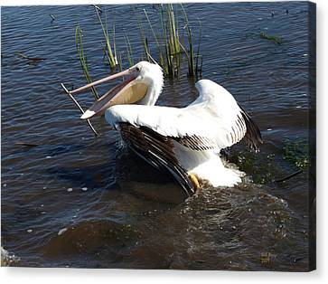 White Pelican In The Marsh Canvas Print by Bill Perry