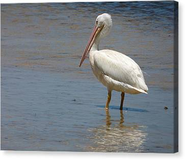 White Pelican Canvas Print by Melinda Saminski