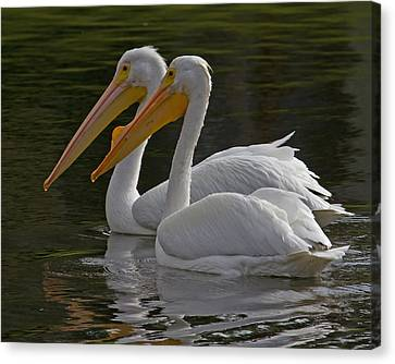 White Pelican Pair Canvas Print