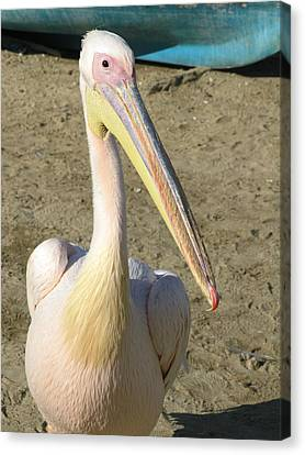White Pelican Canvas Print by Sally Weigand