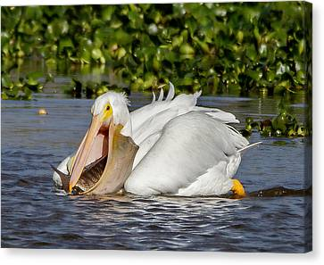 Canvas Print featuring the photograph White Pelican With A Huge Catch by Phil Stone