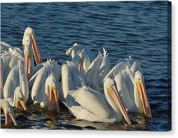 Canvas Print featuring the photograph White Pelicans Flock Feeding by Bradford Martin