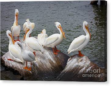 White Pelicans Canvas Print by Inge Johnsson