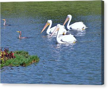 White Pelicans Canvas Print by Martha Ayotte