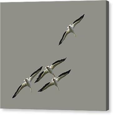 White Pelicans Transparency Canvas Print