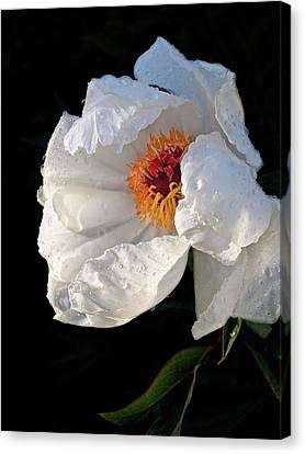 White Peony After The Rain Canvas Print by Gill Billington