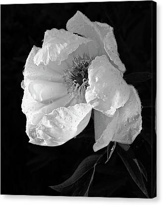 White Peony After The Rain In Black And White Canvas Print by Gill Billington
