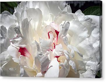 White Peony And Red Highlights Canvas Print by Steve Augustin