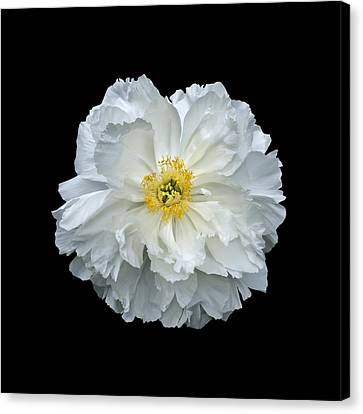 White Peony Canvas Print by Charles Harden