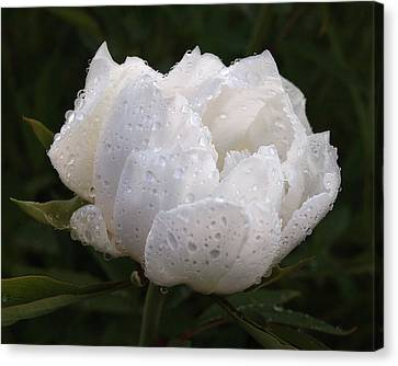 White Peony Covered In Raindrops Canvas Print by Gill Billington