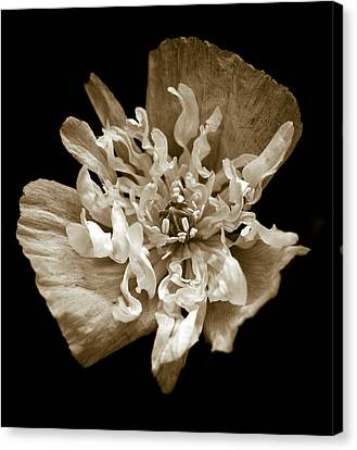 White Peony Flowered Opium Poppy Canvas Print by Frank Tschakert