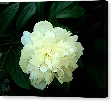 Canvas Print featuring the photograph White Peony Rose Sumie Print by Margie Avellino