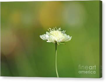 Butterfly Blue Pincushion Flower Canvas Print - White Pincushion Flower by Karen Adams