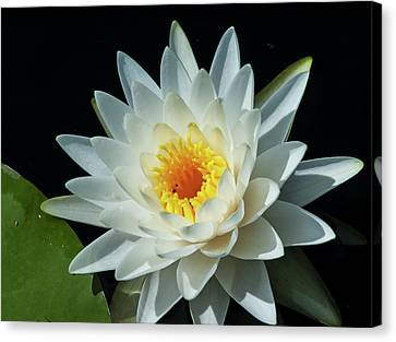 Canvas Print featuring the photograph White Pond Lily by Arthur Dodd