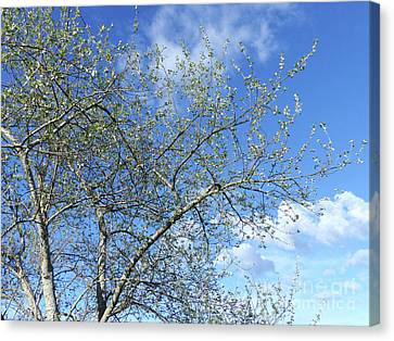 White Poplar - Blue Sky Canvas Print by Phil Banks