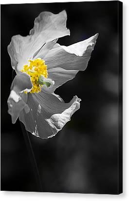 White Poppy Canvas Print by Svetlana Sewell