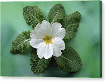 Canvas Print featuring the photograph White Primrose by Terence Davis