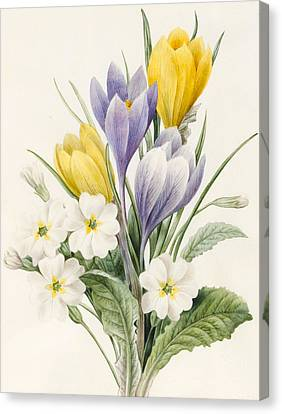 White Primroses And Early Hybrid Crocuses Canvas Print