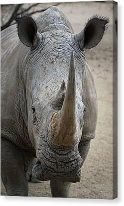 White Rhino 4 Canvas Print