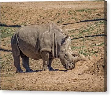 White Rhinoceros Canvas Print