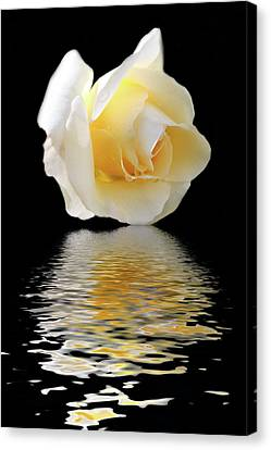 White Rose Canvas Print by Angel Jesus De la Fuente