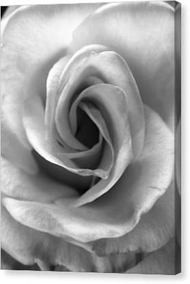 White Rose Canvas Print by Beverly Johnson