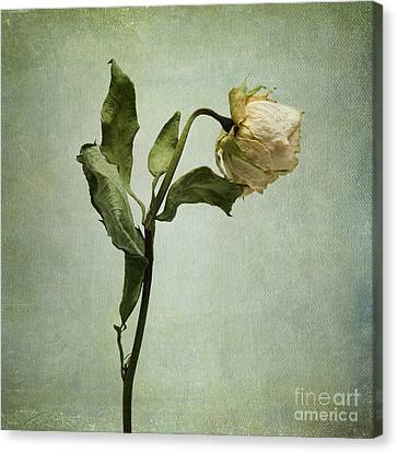 White Rose Desiccated Canvas Print