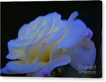 White Rose Canvas Print by Elaine Hunter