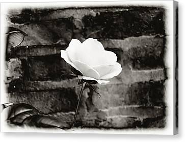 White Rose In Black And White Canvas Print by Bill Cannon