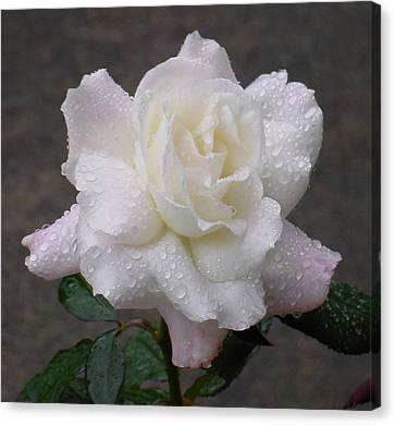 White Rose In Rain - 3 Canvas Print by Shirley Heyn
