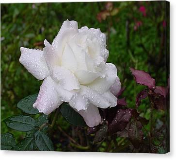 White Rose In Rain Canvas Print