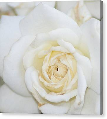 White Rose Canvas Print by Liz Vernand