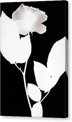 White Rose Canvas Print by Paul Shefferly
