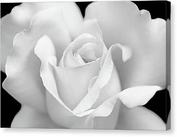 Canvas Print featuring the photograph White Rose Purity by Jennie Marie Schell