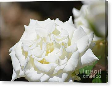 White Rose  Canvas Print by Ruth Housley
