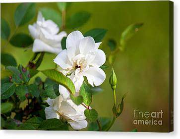 White Roses Canvas Print by Lena Auxier