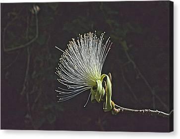 White Shaving Brush Pseudobombax Flower Canvas Print