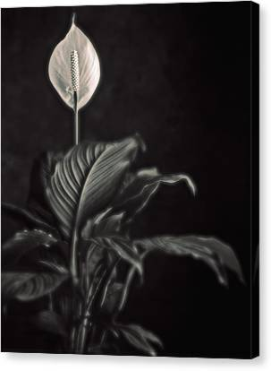 White Skunk Cabbage Canvas Print by Joseph Gerges