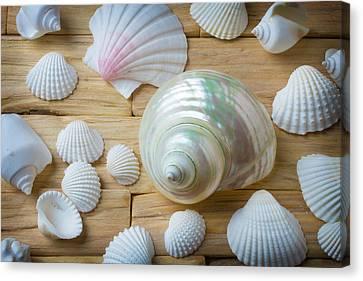 Seashell Art Canvas Print - White Snail Seashell by Garry Gay