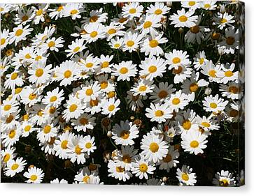 White Summer Daisies Canvas Print by Christine Till