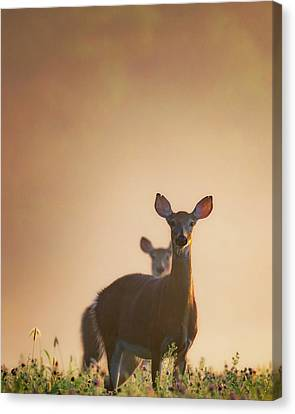 White-tailed Deer 2016 Canvas Print by Bill Wakeley