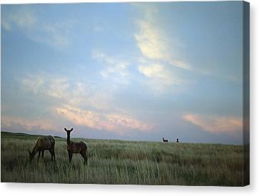 White-tailed Deer On The Prairie Canvas Print by Joel Sartore