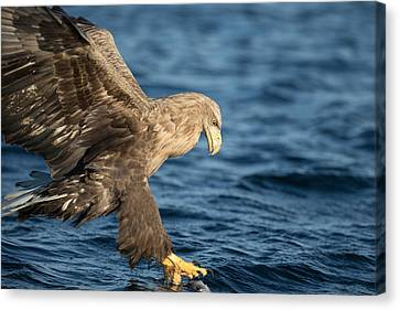 White-tailed Eagle Hunting Canvas Print by Andy Astbury