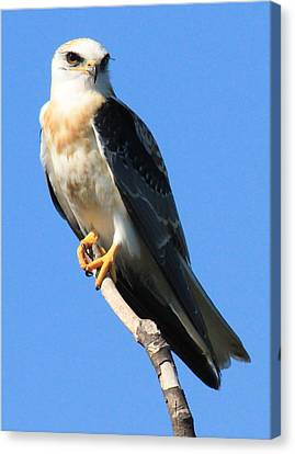 White-tailed Kite Canvas Print