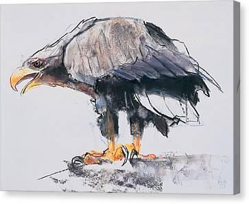 White Tailed Sea Eagle Canvas Print by Mark Adlington