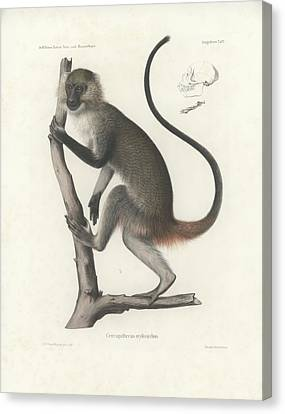 White Throated Guenon, Cercopithecus Albogularis Erythrarchus Canvas Print